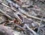 broasca-muntii-bucegi-8