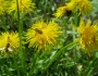 flori-muntii-bucegi-9