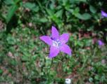 flori-muntii-bucegi-1