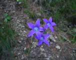 flori-muntii-bucegi-4