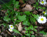 flori-muntii-bucegi-2