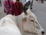 vaca-pe-strada-india