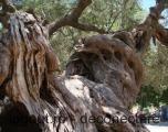 acesta-cel-batran-maslin-insula-zakynthos-peste-1-000-ani