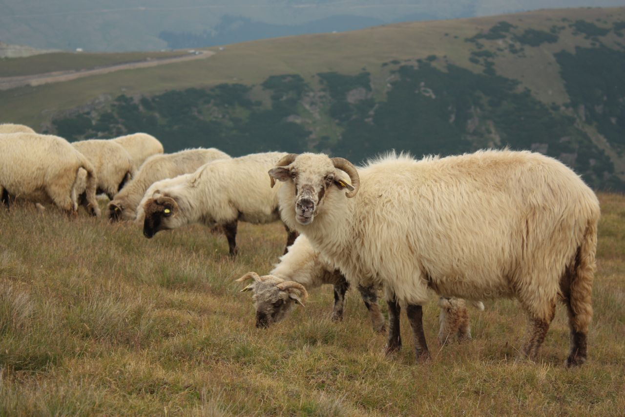Munţii Rodnei - Turma de oi